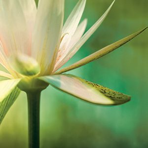 lotus-green-cropped2
